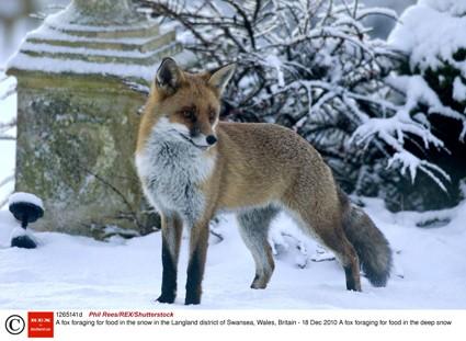 Москву оккупировали лисы и зайцы
